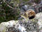 Alpine Marmot (Marmota marmota)